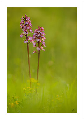 Orchis purpurea -  Purpur-Knabenkraut