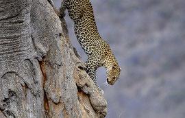 Leopardo Tsavo Ovest in2kenya