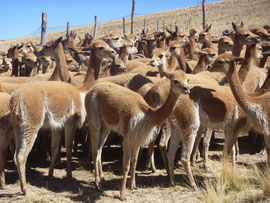 Vicuñas de Huancabamba