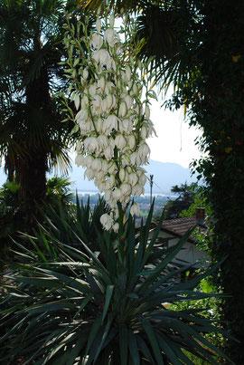 Yucca Blüten