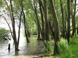 Überschwemmte Weichholzaue