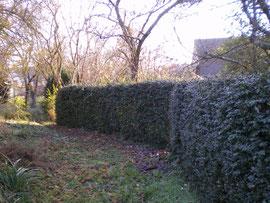 Haie de buis  (Buxus sempervirens)