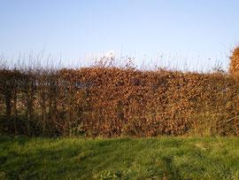 Haie de charme  (Carpinus betulus)