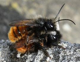 Gehörnte Mauerbienen  (Foto: C. Schauroth)