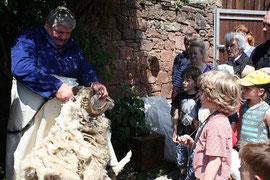 beim jährlichen Schafschurfest in Eschbach
