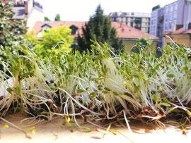 Come fare i germogli in casaIl processo di germinazione innesca importanti modificazioni in tutti i semi: migliora la qualità delle proteine; aumenta notevolmente la quantità delle vitamine A, C e del gruppo B; migliora la disponibilità all'assorbimento d
