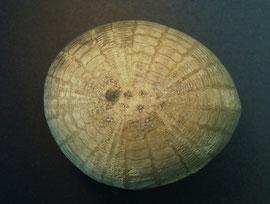 Seeigel Echinocorys vulgaris (Oberseite)