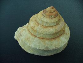 Schlitzbandschnecke Bathrotomaria regalis