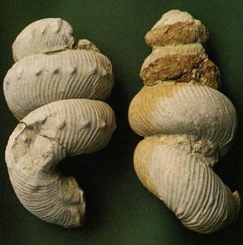 Leitfossil Bostrychoreras polyplocum  (Haarlockenhorn)