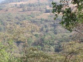Kaffeewälder bei Gidaami