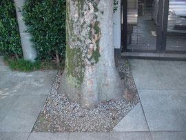 赤城神社の参道にある樹木