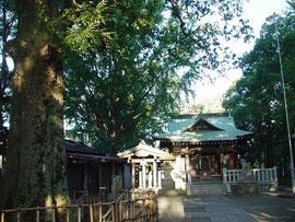 「まちの樹」と小杉神社拝殿