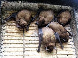 Grossabendsegler im Spaltenkasten...