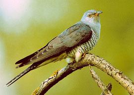 Der Kuckuck - so sieht man ihn selten, Foto B. Kelz