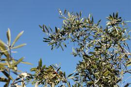Les olives noires en hiver