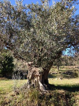 Un vieil olivier à Flayosc