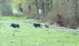 Wildschweine mit Frischlingen  Foto: Leo Wyden