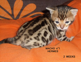 Manekineko bengal cat