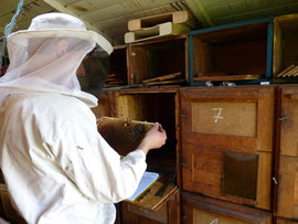 Friedrich Rosenthal an einem Bienenvolk in der Imkerei Ökohof Fläming zur Frühjahrsdurchsicht.