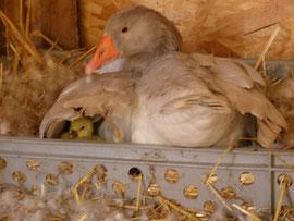 Eines der vier ersten Gänsejungen 2014 schaut vorsichtig unter dem Flügel der Mutter hervor. Sie verteidigt hier Küken energisch.