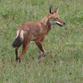Canis simensis ©Wikipedia, GertVankrunkelsven