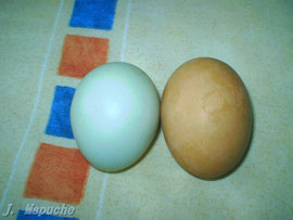 Huevo Azul Gallina Mapuche (Izquierda) Marron (Derecha( gallina ponedora. Juan J. S. Valparaiso (Chile)