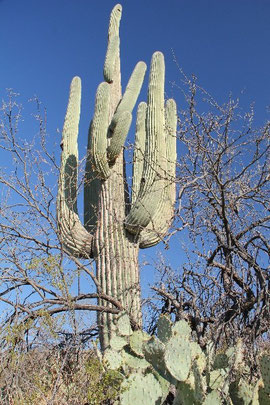 Foto Saguaro