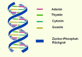 Quelle: http://www.kindernetzwerk.de/images/glossar/Doppelhelix-DNA--2a.jpg