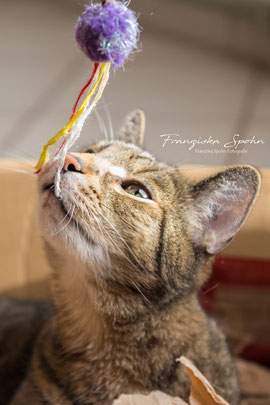 Franziska Spohn Fotografie - Tierfotografie, Katzenfotografie, Indoorshooting, spielende Katze