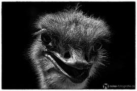 Emu im Tierpark Gotha