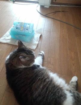 保冷剤で涼む猫