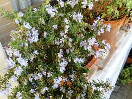 4/20のレッスンではハーブの寄せ植えを作ります!