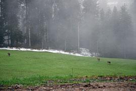 Hirsche neben unserer Scheune