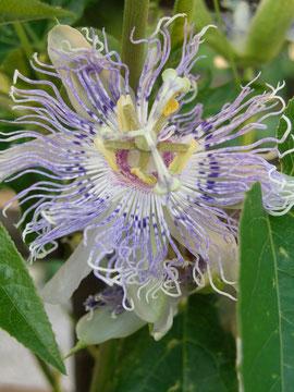 Passiflora Incarnata Fruchtsorte
