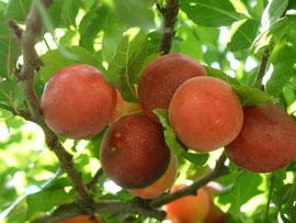 Türkische Kirschpflaume (Prunus cerasifera)