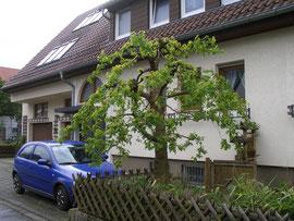Maulbeerbaum Morus nigra