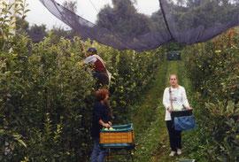 La famiglia Ohnewein nei campi durante la raccolta delle mele.