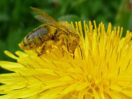 Pollen und Nektar