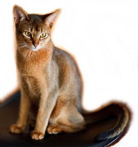 Ticked-Tabby, Bildquelle: fotolia.com