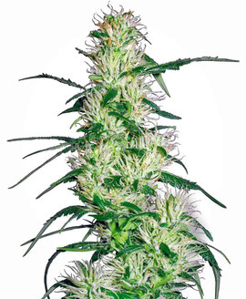 Purple Haze Cannabis Sorte