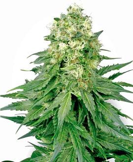 White Widow Cannabis Sorte Indica Dominanz