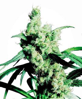 Silver Haze Cannabis Sorte Sativa Dominanz