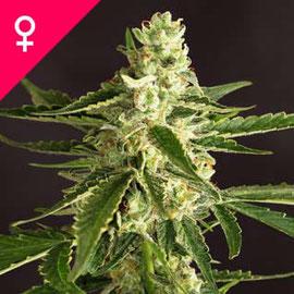 Amnesia Cannabis Sorte