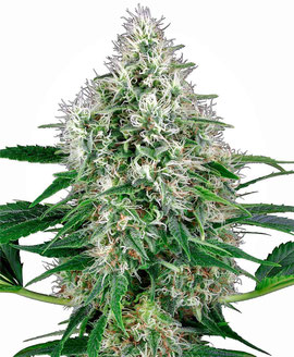 Pure Power Plant Cannabis Sorte