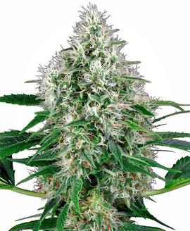Pure Power Plant Cannabis Sorte