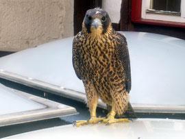 junges Weibchen auf dem Dach des Kessler-Gebäudes