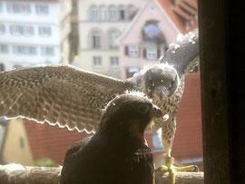 Jungvögel kurz vor dem Ausfliegen / Foto: W. Barth/BUND