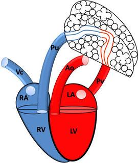 Physiologische Verhältnisse; RA: rechtes Atrium; RV: rechter Ventrikel; VC: Vena cava; Pu: Pulmonalarterie; LA: linkes Atrium; LV: linker Ventrikel; PV: Pulmonalvene; Ao: Aorta