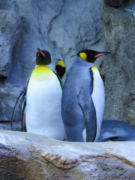 Pingüinos rey. Foto (CC): Akiroq /pixabay.
