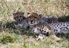 Gepard mit Baby in der Massai Mara